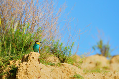 Lookout - Bee eater (Lucio Busa) Tags: park wild italy bird nature birds animals lens photography fly colours wildlife bees flight sigma natura super bee uccelli telephoto national catch migratory hunter mm colourful 500 calabria animali eater uccello fotografica caccia eaters corigliano naturalistic migratori naturalistica geographics sonyalpha gruccione 150500 gruccioni