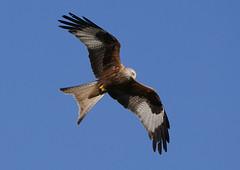 Red kite at Watlington Hill (jeffpatrick501) Tags: red kite hill watlington