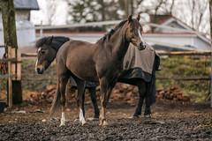Hevosia / Horses (Tuomo Lindfors) Tags: hmeenlinna suomi finland aulanko aulangonratsastuskoulu hevosia horses niksoftware viveza analogefexpro tamronsp70200f28divcusd