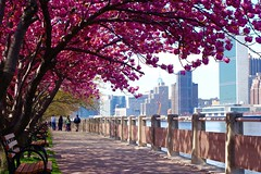 Cherry Trees, Roosevelt Island (Anne Marie Clarke) Tags: nyc flowers newyork island spring un unitednations eastriver bloom rooseveltisland cherrytrees