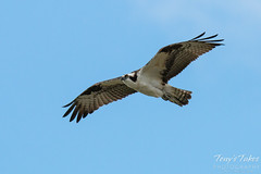 Male Osprey landing sequence - 1 of 13