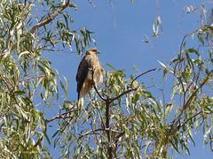 Grey falcon, I think.  Darling River, at Bourke, NSW (margaretpaul) Tags: bird nsw bourke darlingriver greyfalcon