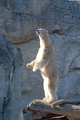 Eisbr Lloyd im Zoo am Meer (Ulli J.) Tags: germany deutschland zoo polarbear bremen tyskland allemagne bremerhaven zooammeer ijsbeer duitsland eisbr isbjrn ourspolaire