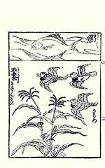 Bottom  sweet corn and mew gull (Japanese Flower and Bird Art) Tags: flower bird japan japanese book corn sweet gull picture anonymous poaceae woodblock mew zea larus mays ukiyo laridae canus readercollection