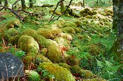 Moss (strzez wartosci) Tags: film analog forest scotland highlands minolta hiking rangefinder trail westhighlandway minoltahimatic