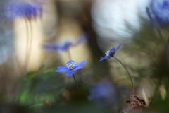 Bokeh (evisdotter) Tags: light flower macro nature spring bokeh blomma blsippa sooc anemonehepatica