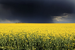 Thunder Cloud (maureen bracewell) Tags: france nature yellow rural countryside spring farming april agriculture blackcloud thundercloud maureenbracewell sommeregion