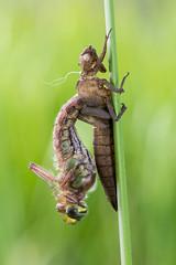 Hairy dragonfly (Prajzner) Tags: morning macro nature dragonfly naturallight manfrotto odonata anisoptera sigma105mmmacro sigma105macro subcarpathia hairydragonfly brachytronpratense macrodreams nikond7100 manfrottomt190xpro3