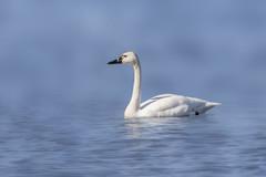 Tundra Swan (Peter Stahl Photography) Tags: spring swan alberta migration tundraswans tundraswan