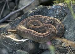Northern Pacific Rattle Snake (Nanoreplicator) Tags: flowers kite ed nikon san wildlife deer micro nikkor antonio mule afs rancho 105mm d90 128g