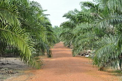 Young oil palm estate (Lim SK) Tags: