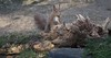 DSC08345rawcon_b (ger hadem) Tags: veluwe zwijn eekhoorn gerhadem