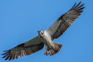 dsc_0692 Osprey