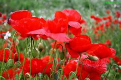 PAPAVERI ROSSI (SergioLoi) Tags: sardegna flowers italy primavera flora italia sardinia campagna fiori rosso papaveri barbagia esterzili