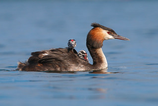 Great crested grebe c-a