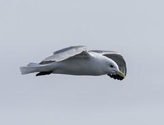 Black-legged Kittiwake (Rissa tridactyla) (mesquakie8) Tags: bird alaska flying adult gull landsend homer 2204 blackleggedkittiwake rissatridactyla blki kenaipeninsulacounty