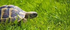 IMG_0279 (Teekanne2) Tags: green nature outdoor turtle natur grn schildkrte drausen