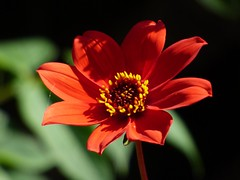 red (Ollovia) Tags: red flower nature fleur rouge t