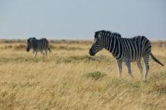 2 Zebras (alisdair jones) Tags: africa park wildlife namibia etosha zebras ef70200mmf28lisusm2xiii