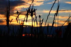Abendspaziergang 2 (Seelenspiegel) Tags: sunset nature landscape sonnenuntergang natur landschaft ausblick kornblumen mohnblumen