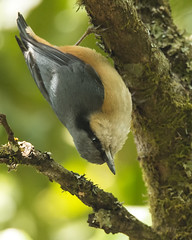 White-tailed Nuthatch (Rez Mole) Tags: nuthatch whitetailed sittahimalayensis