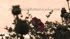 Danish Flag Papaver Somniferum Opium POPPY Pods n Flowers by- OrganicalBotanicals_Com 22 (gjaypub) Tags: flowers plants nature silhouette photography pod photos gardening bees seed seeds poppy poppies growing opium pods cultivation papaver somniferum morphine cultivating papaversomniferum 2016 potency poppyhead alkaloids organicalbotanicals