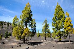 Corona Forestal (YellowSingle ) Tags: mountain forest island volcano nikon corona canary teide f28 d300 forestal 1755mm