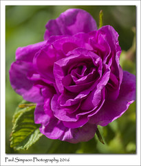 Aromatic Rose (Paul Simpson Photography) Tags: pink flowers nature rose spring purple petal naturalworld flowery photosof imageof normanbypark photoof imagesof sonya77 paulsimpsonphotography