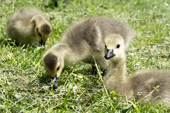 Oh Cuteness (Jam-Gloom) Tags: uk macro bird river bedford geese bedfordshire olympus goose gosling canadiangoose canadiangeese 60mm waterfowl ouse embankment omd riverouse 60mm28 em5 60mmmacro28 bedfordembankment olympusuk olympusomd olympusomdem5