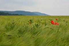 Par un jour morose (Excalibur67) Tags: red landscape rouge nikon contemporary sigma paysage coquelicots pavots d7100 1770f284dcoshsmc