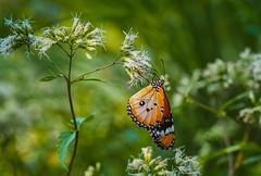 Orange Butterfly (elenaleong) Tags: singapore botanicgarden orangebutterfly unescoworldheritage tigerbutterfly plaintiger heritagegarden elenaleong