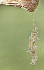 Praying Mantis Hatchlings (chevymom0) Tags: macro canon bug garden mantis insect spring michigan prayingmantis mantid downriver waystation2408