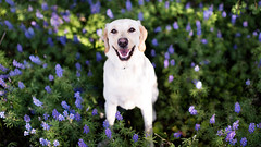 Flowers with Tillie (Brian.Buckler) Tags: flowers dog cute yellow canon 50mm lab labrador bokeh co 5d frisco 50l dogphotographer brianbuckler
