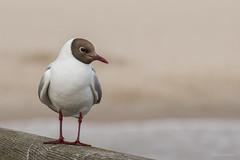 Black-headed Gull (katyarud) Tags: travel bird birds larusridibundus usedom blackheadedgull laridae  charadriiformes