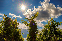 Sun & Wine (der LichtKlicker) Tags: travel blue light summer sky sun holiday backlight clouds germany deutschland star ray fuji photographer wine sommer urlaub himmel wolken vine fujifilm backlit blau sunrays leafs baden stern sonne bltter cloudporn sonnenstrahlen kaiserstuhl reise gegenlicht breisgau riegel sdbaden xt1 xf1855mm lichtklicker