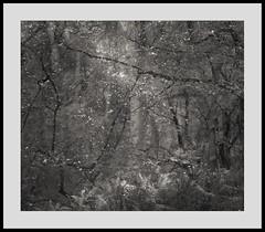Dark Leaf Matter 140616/02 (Gibbom) Tags: trees light sun nature leaves mystery forest woodland shadows natural growth bracken ferns burnhambeeches darkenergy distagont235 distagon352ze