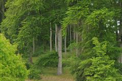 Buchenwald (Fagus sylvatica) in Kölpinsee; Usedom b (80) (Chironius) Tags: usedom mecklenburgvorpommern meklemburgiapomorze uznam deutschland germany allemagne alemania germania германия niemcy rosids fabids buchenartige fagales buchengewächse fagaceae fagoideae buchen baum bäume tree trees arbre дерево árbol arbres деревья árboles albero rotbuche faia kayın beuken бук bok árvore ağaç boom träd