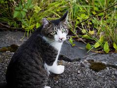 P1030060 (MIKIMONTE) Tags: japan cat   kanazawa jap