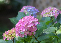 colorful hydrangea (Kazooze) Tags: flower flowers hydrangea multicolors foliage macro outdoor nature garden bokeh sigma105mmmacrolens