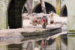 Dierenpark amersfoort-5385 (ellyvveen) Tags: nederland gelderland landen dierenparkamersfoort mantelbaviaan dierentuindieren