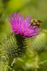 Orange-belted Bumblebee--Explore (amarilloladi) Tags: orange macro nature flora thistle insects fuschia bee pacificnorthwest pollen bumble spear belted pollination spearthistle flickrphotowalk macrotextures orangebeltedbumblebee flickrphotowalk2016