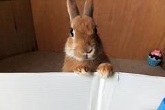 Ichigo san 238 ICHIGO san  (mensore) Tags: family pet brown cute rabbit bunny dwarf netherland ichigo   netherlanddwarf