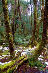 Pencil Pine Walk (shinbonerbaz) Tags: mountain sony australia tasmania alpha dt cradle a57 α pencilpinefalls minoltaamount sal18250 sonydt18250mm