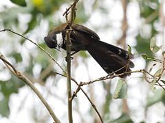 Eastern Whipbird (Vas Smilevski) Tags: easternwhipbird psophodesolivaceus eupetidae birds bird birding feathers wildlife animals m43 getolympus avian australianbirds australia nsw nature ngc olympusomdem1 mzuiko300mmf4pro omd em1 300mm olympus olympusau olympusinspired whipbird