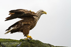 White-Tailed Eagle (Haliaeetus albicilla) (gcampbellphoto) Tags: whitetailedeagle haliaeetusalbicilla raptor birdofprey nature wildlife avian bird eagle gcampbellphoto scotland skye