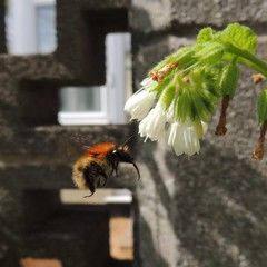 Photo of Bumblebee (Bombus pascuroum) approaching comfrey, Sandy, Bedfordshire