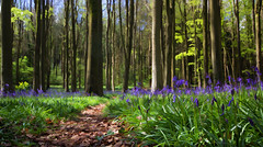 Simplified  bluebells (Justsha2) Tags: spring woods 1020mm buzzed bluebell cleeve canon60d