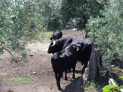 Granadilla, Cáceres (Rosaternero) Tags: naturaleza fauna rural spain pueblo ruinas toros ganado turismo cáceres granadilla puebloabandonado extremadura antigüedad geografíafísica