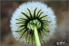 BRIN DE PRINTEMPS (Gilles Poyet photographies) Tags: nature fleur printemps soe auvergne puydedme autofocus aplusphoto boudes artofimages