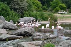 Pink flamingos (fantomavis) Tags: pink france green nature birds animals river lyon pierre flamingo extrieur parc landsccape oiseaux ttedor flamantrose